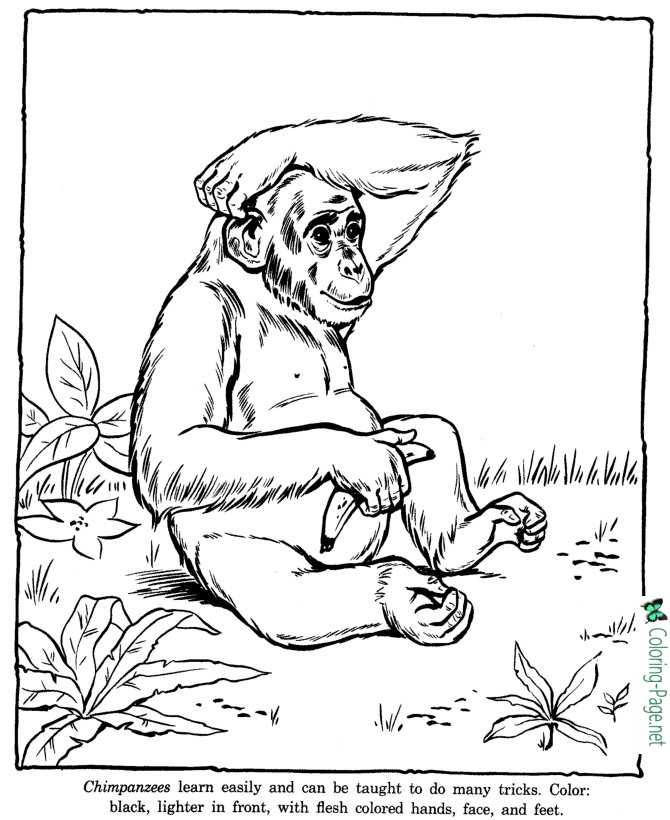 Chimpanzee Coloring Pages Zoo
