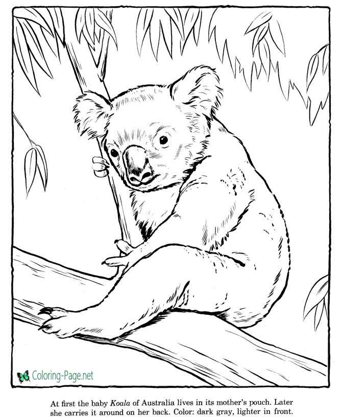 Koala Coloring Pages Zoo