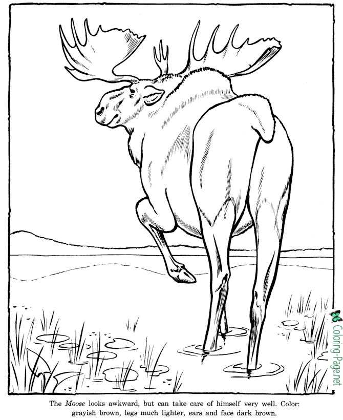 Moose Coloring Pages Zoo