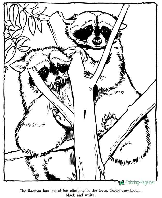 Racoon Coloring Pages Zoo