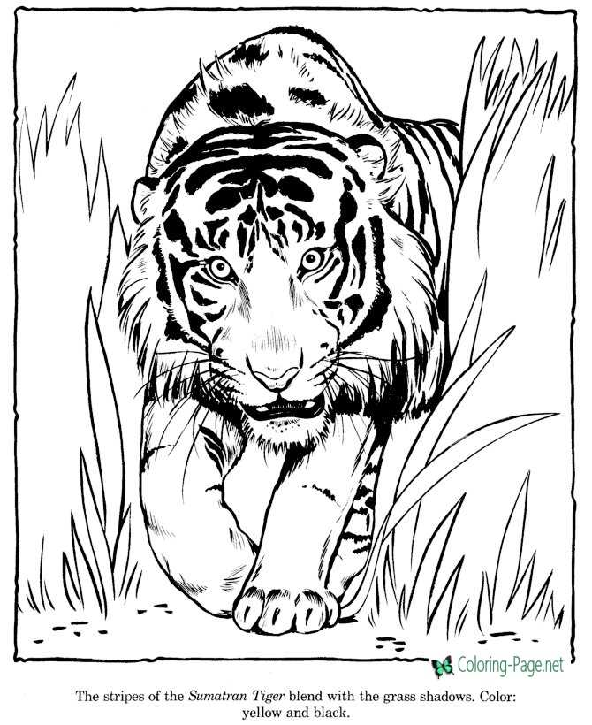 zoo tiger coloring page