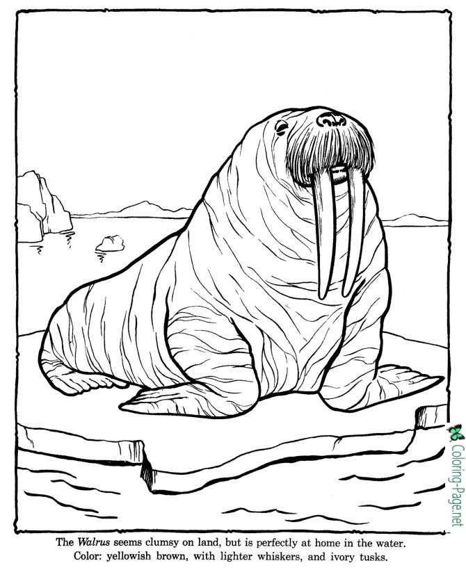 Walrus Coloring Pages Zoo